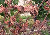 Maladie sur les vignes ESCA