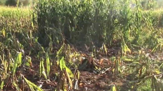 dégâts de sanglier sur maïs