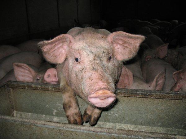 Ain : soutien aux producteurs de porcs