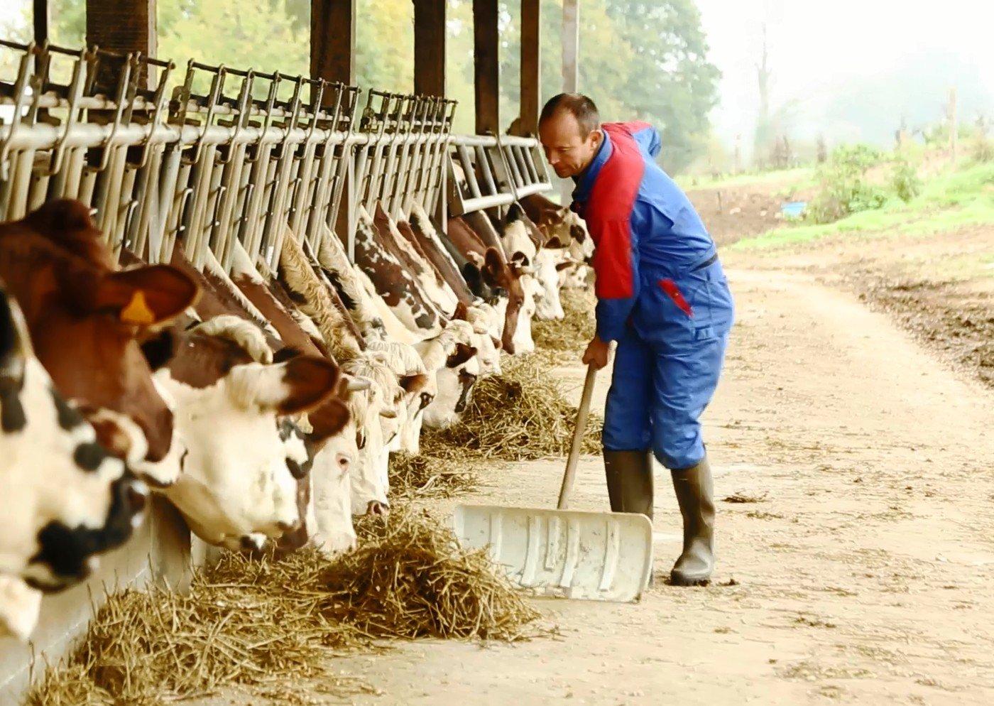 Eleveur nourrit ses bêtes