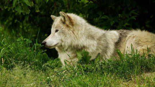 attaques de loup