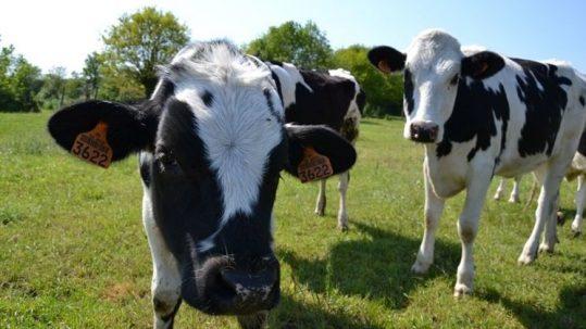 vaches-lait