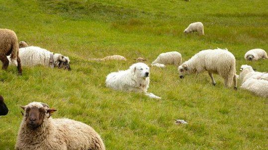 Chien_de_montagne_des_Pyrénées_au_milieu_des_moutons