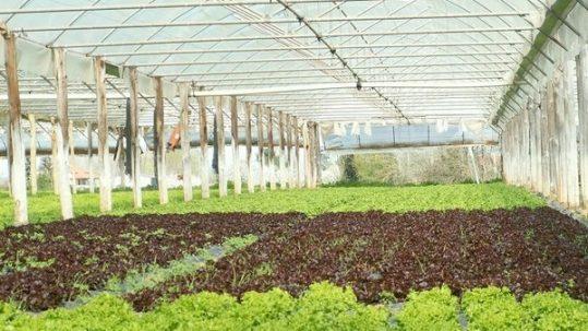 salades sous serre lot et garonne avril 2006