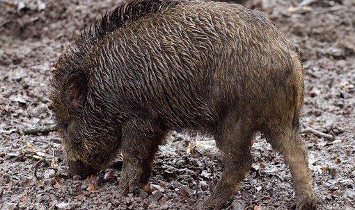 wild-boars-657916__340