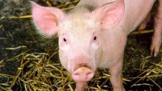 Porc © Nick Saltmarsh peste porcine