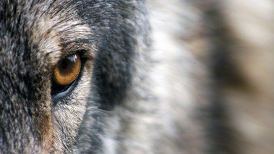 attaque de loup