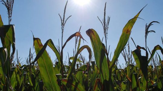 champ maïs