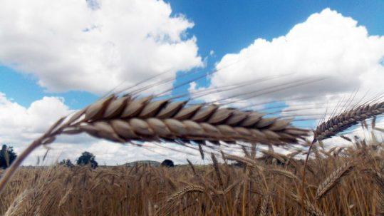 épi blé