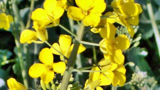 fleur de colza