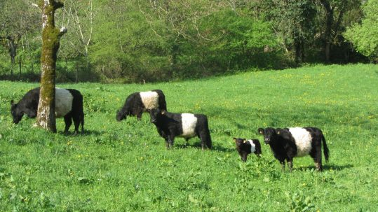 Vaches galloway ER