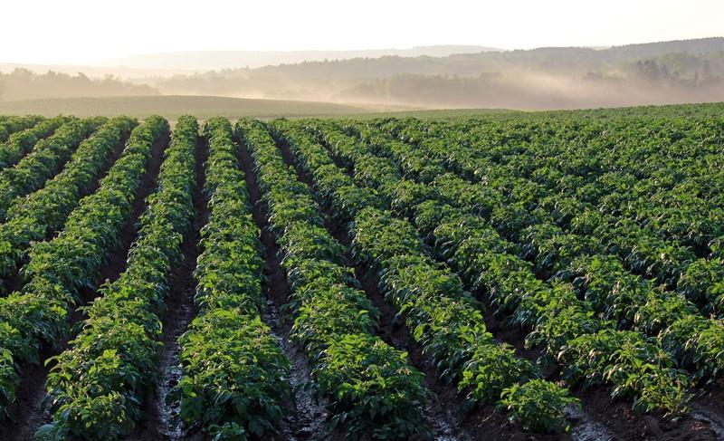 champ-pommes-de-terre CP