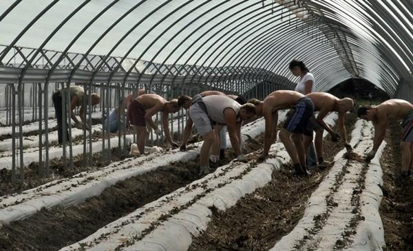 Planteurs_fraises sous serre entraide