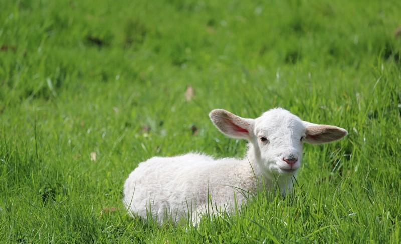 agneau CP