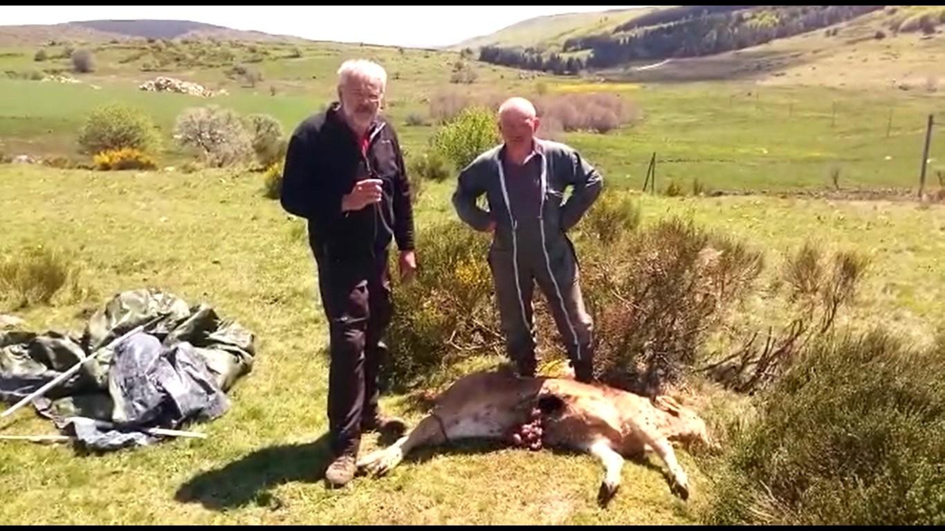Veau Chalier CR48 attaque loup lozere