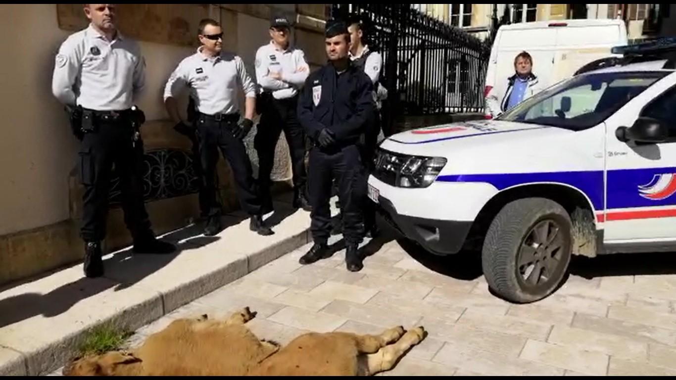 Veau attaqué par loup préfecture CR48 Lozère