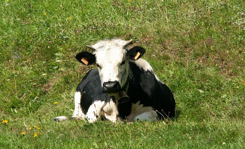 Vache Vosgienne