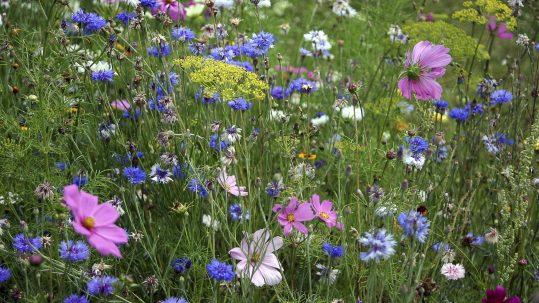 fleurs-des-champs-jachère