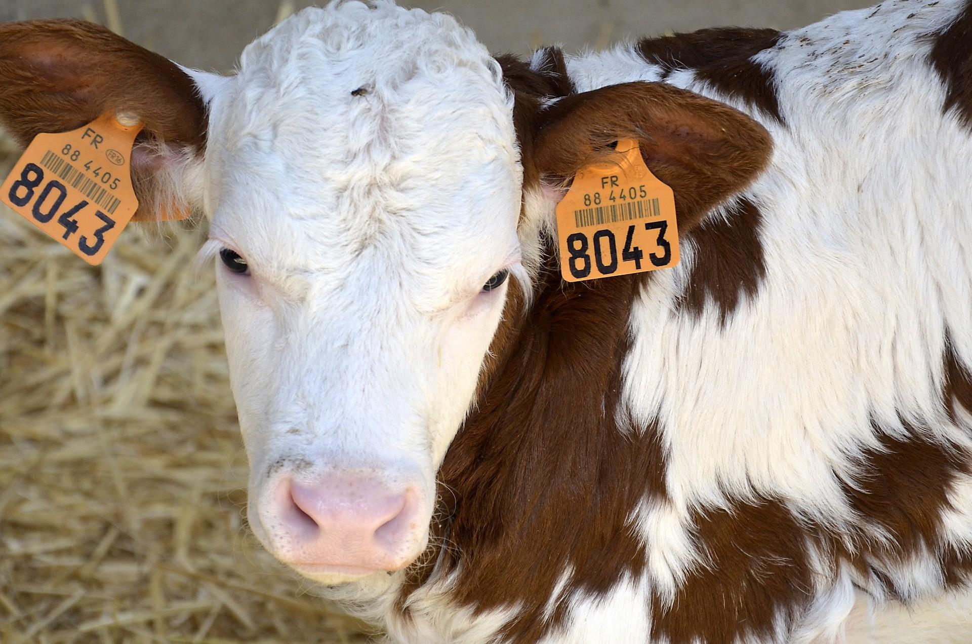 veau lait bovin
