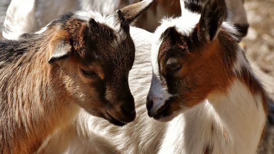 chevreau chèvre caprin