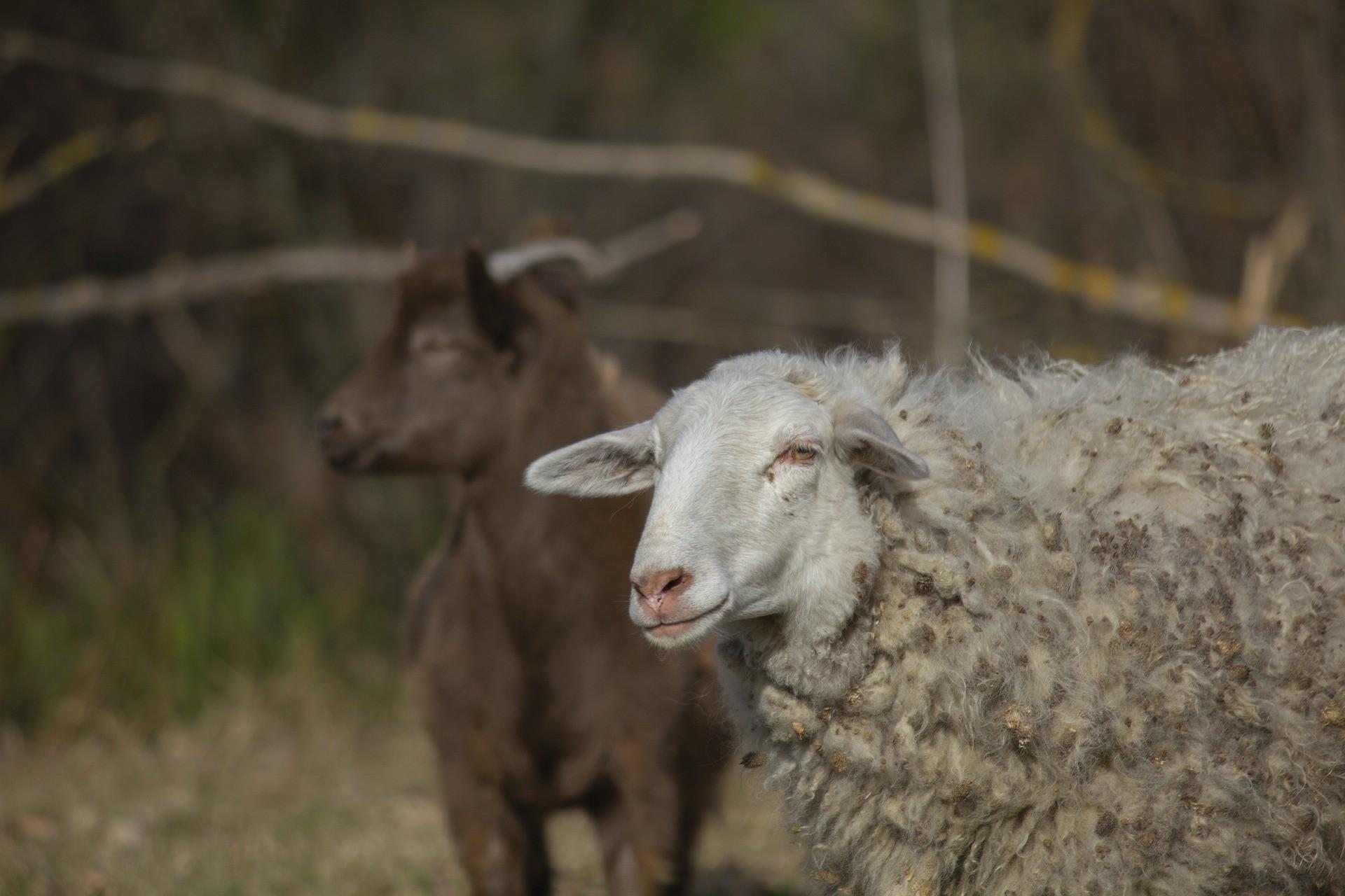 ovin caprin chèvre mouton