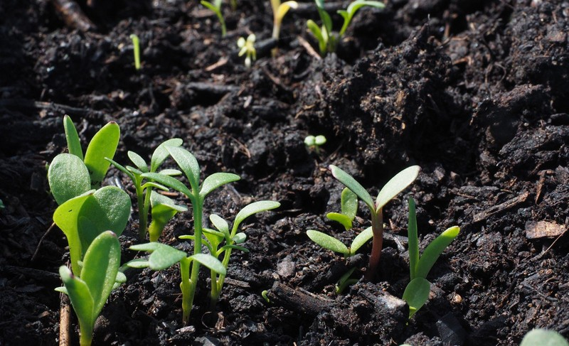 semis plantes